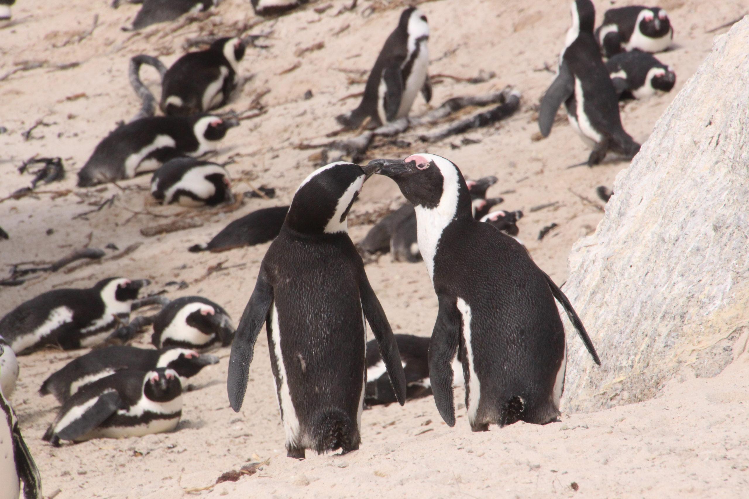 Pingviner i Sør-Afrika