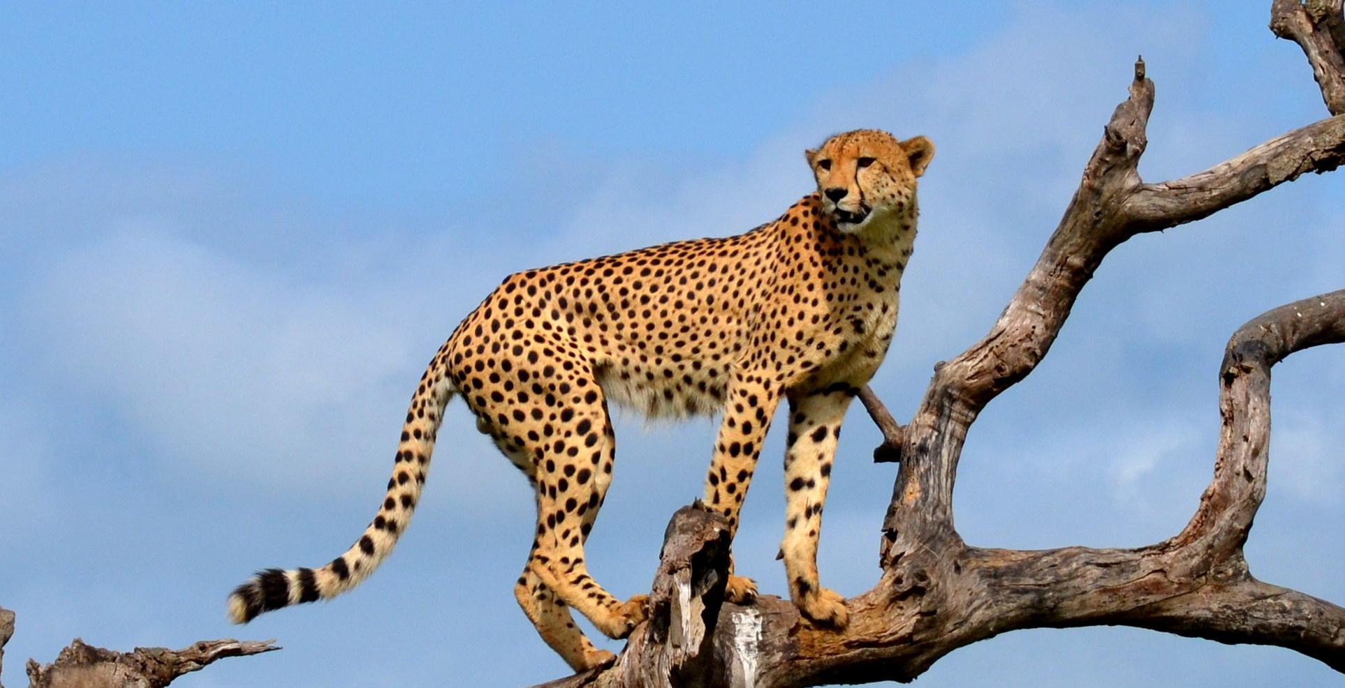 Pat-Cheetah2.jpg