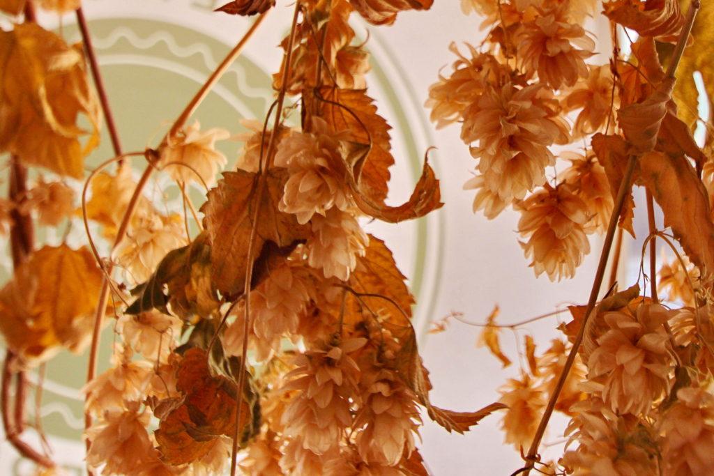 Humle er en viktig plante for Bamberg